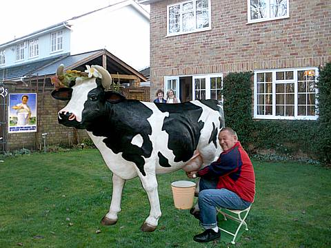 Milking a British cow